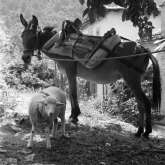 Kazaviti, Thassos island Greece 1973. Donkey and sheep